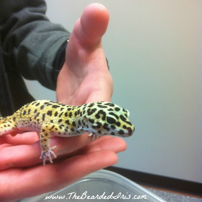 Batman the Leopard Gecko via The Bearded Iris