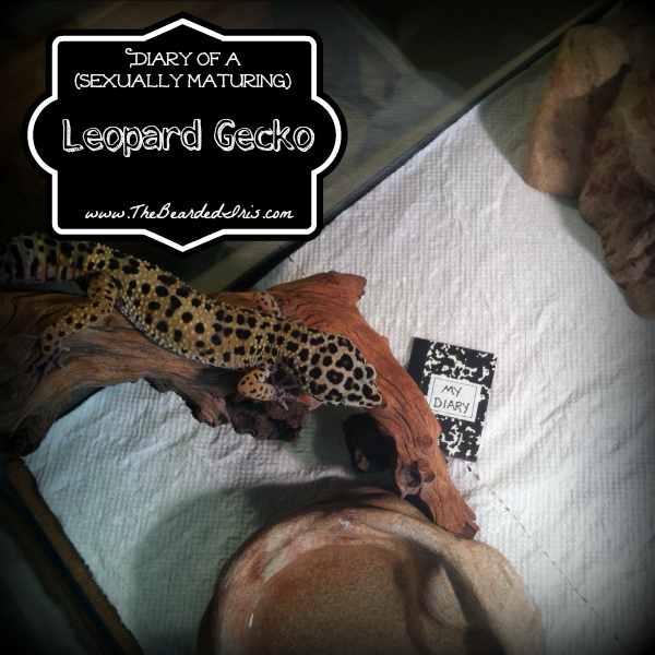 diary of a sexually maturing leopard gecko by The Bearded Iris